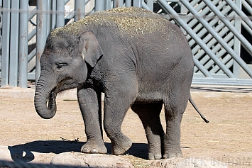Asian Elephant (Juvenile)